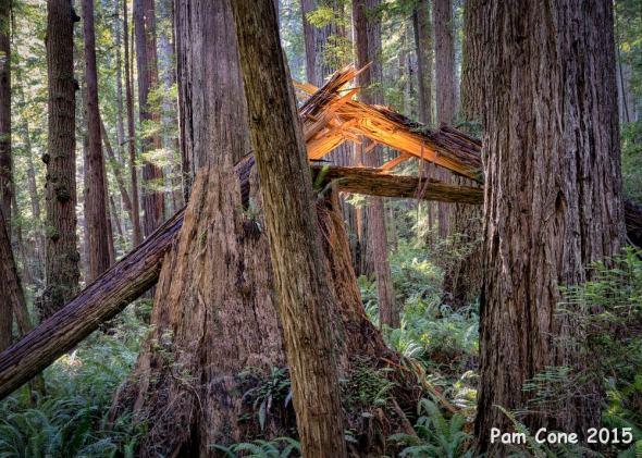 Broken Tree at Prairie Creek